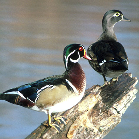 How can I tell if the duck that visits our pond is a wood duck?