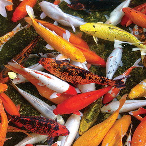 How do I know how many fish I can have in my pond?