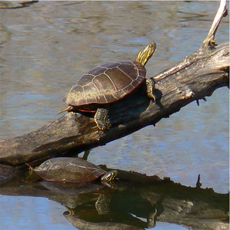 I know my fish will go to the bottom of the pond for the winter, but do I need to do anything for turtles?