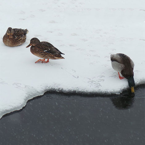 How large of a hole will an aeration system keep open in the ice? I like to keep open water for ducks.