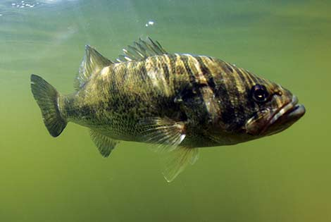A Largemouth Bass cruises in the water.