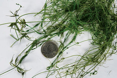 Take a photo with the pond weed spread on a white surface with coin next to it.