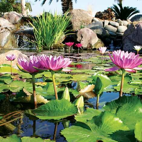 Importance of plants in a water garden plant care the for Garden pond care