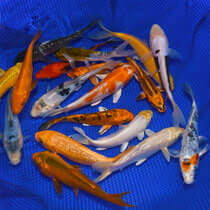 4-6 Choice Grade Koi Packages