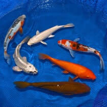 8-10 Choice Grade Koi Packages