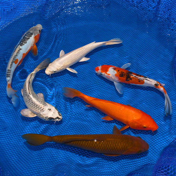 8-10-Inch Choice Grade Koi Packages