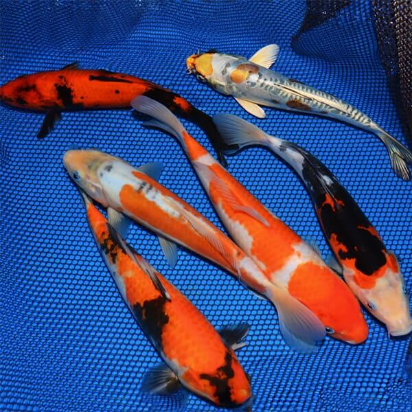 10-12 Choice Grade Koi Packages