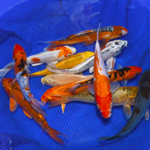 6-8-Inch Choice Grade Koi Packages