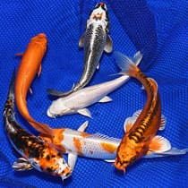 Live Koi Packages - Gold