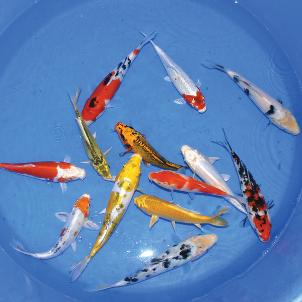 Live Koi Packages - Silver
