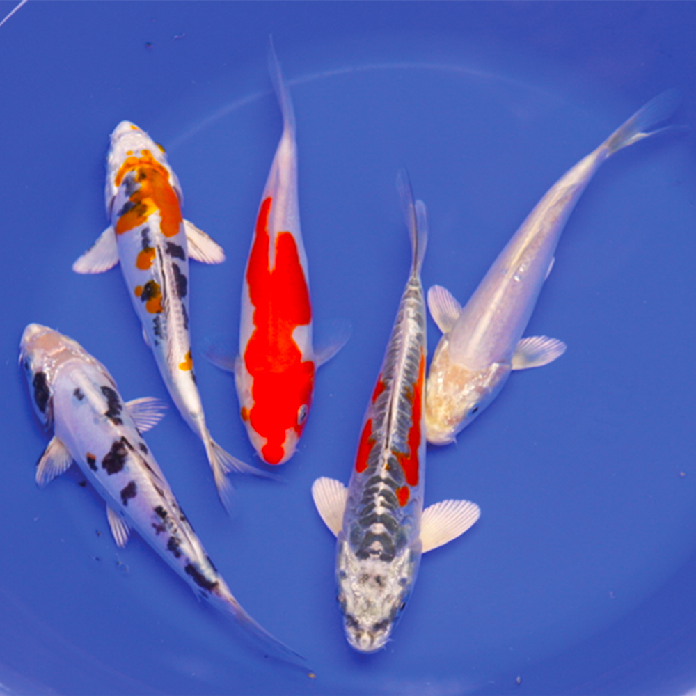 Live koi fish buy koi fish online the pond guy for Koi fish value