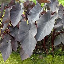 Black Taro - Tropical Bog