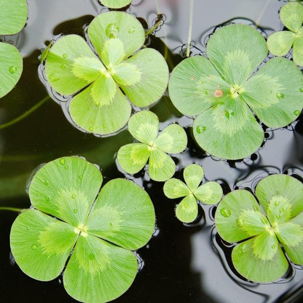 4 Leaf Water Clover Bundle of 2