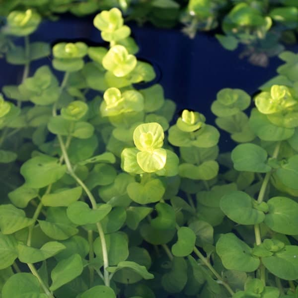 Golden Creeping Jenny Bundle of 5