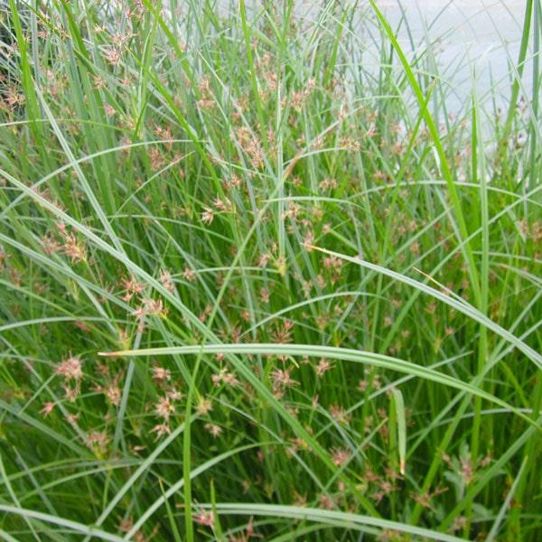 Hardy Umbrella Grass