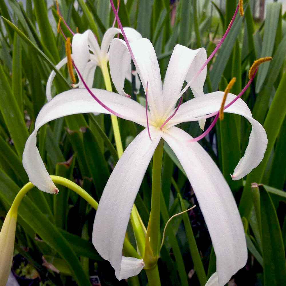 Bog lily white tropical bog plant the pond guy bog lily tropical bog izmirmasajfo