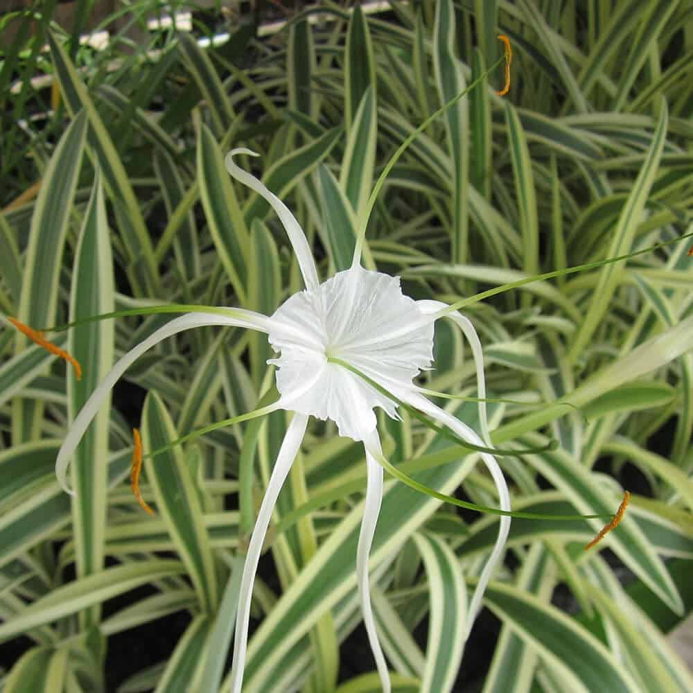Variegated spider lily white tropical bog lily the pond guy variegated spider lily tropical bog izmirmasajfo
