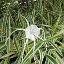 Variegated Spider Lily - Tropical Bog