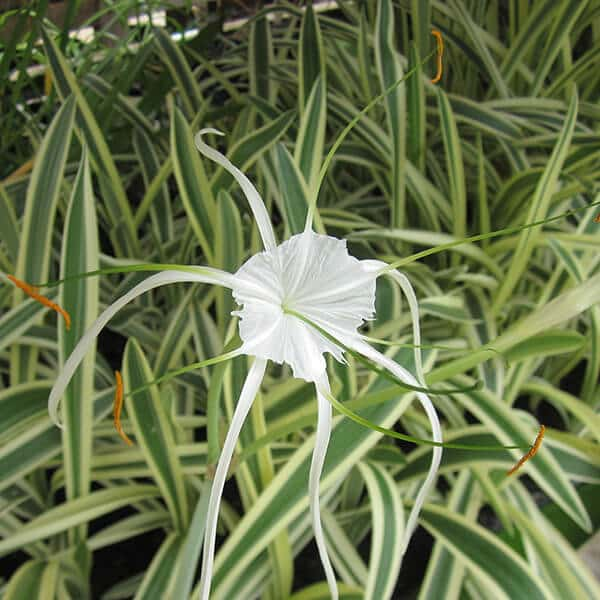 Variegated Spider Lily - Tropical Bog