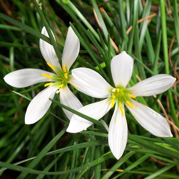 Zephyr / Rain Lily - Tropical Bog