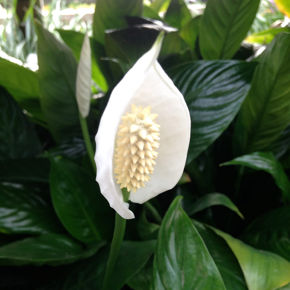Peace lily white tropical bog plant the pond guy peace lily tropical bog izmirmasajfo