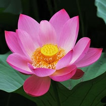 Lotus Plants For Sale The Pond Guy