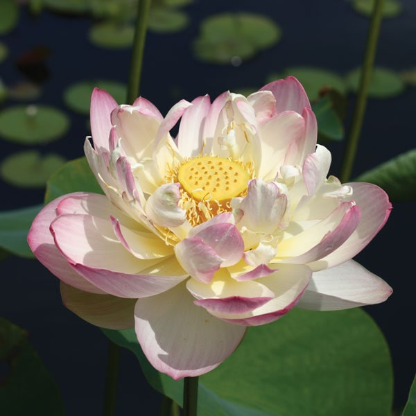 Mrs. Perry Slocum - Hardy Water Lotus