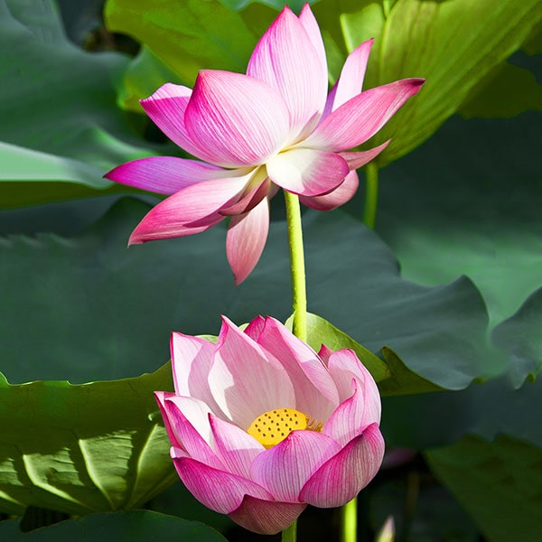 Rosy Clouds - Hardy Water Lotus