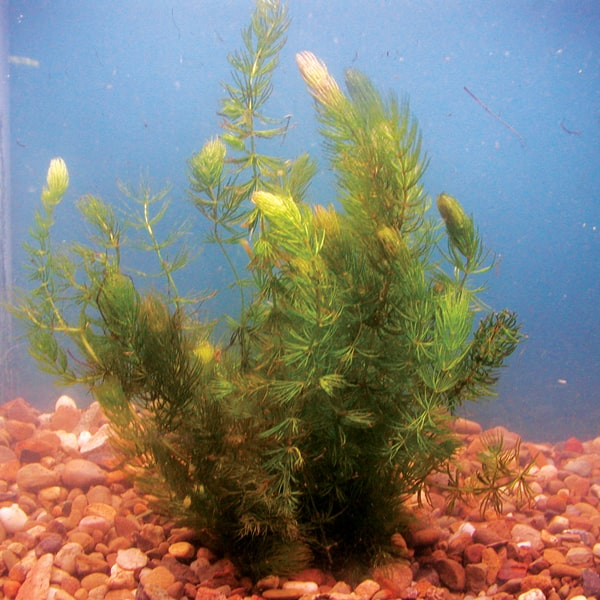 Hornwort Bundle of 5
