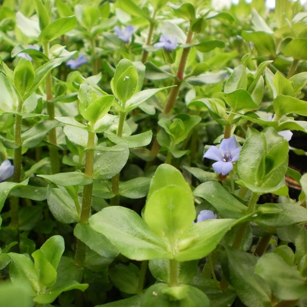 Lemon Bacopa Bundle of 5