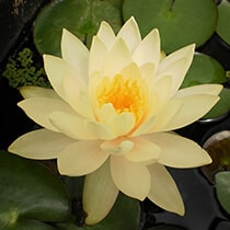 Peaches and Cream Hardy Water Lily