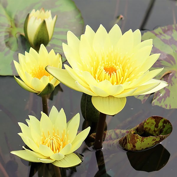 Carla's Sonshine Tropical Water Lily