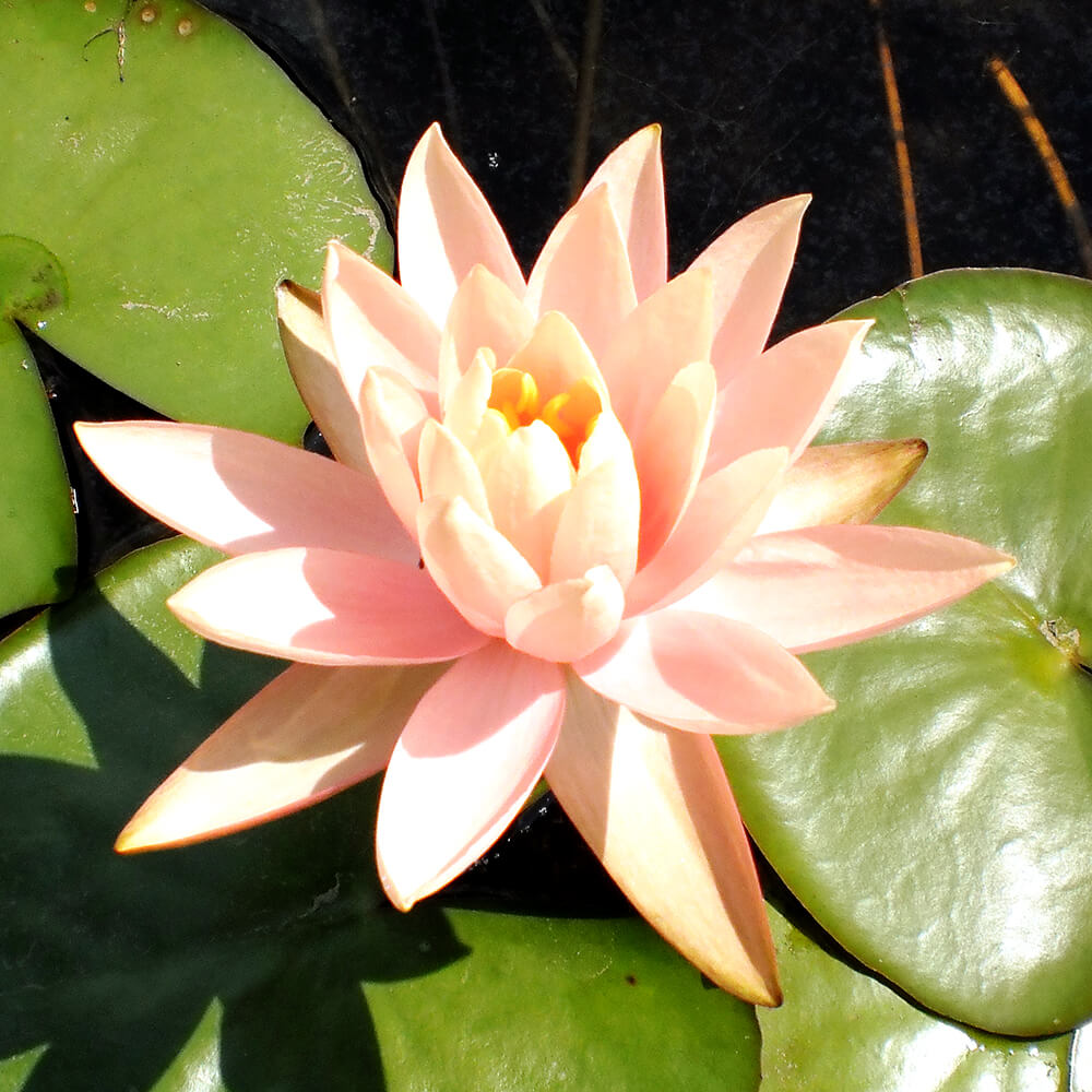Water Lily: Peach Orange Pond Water Lily