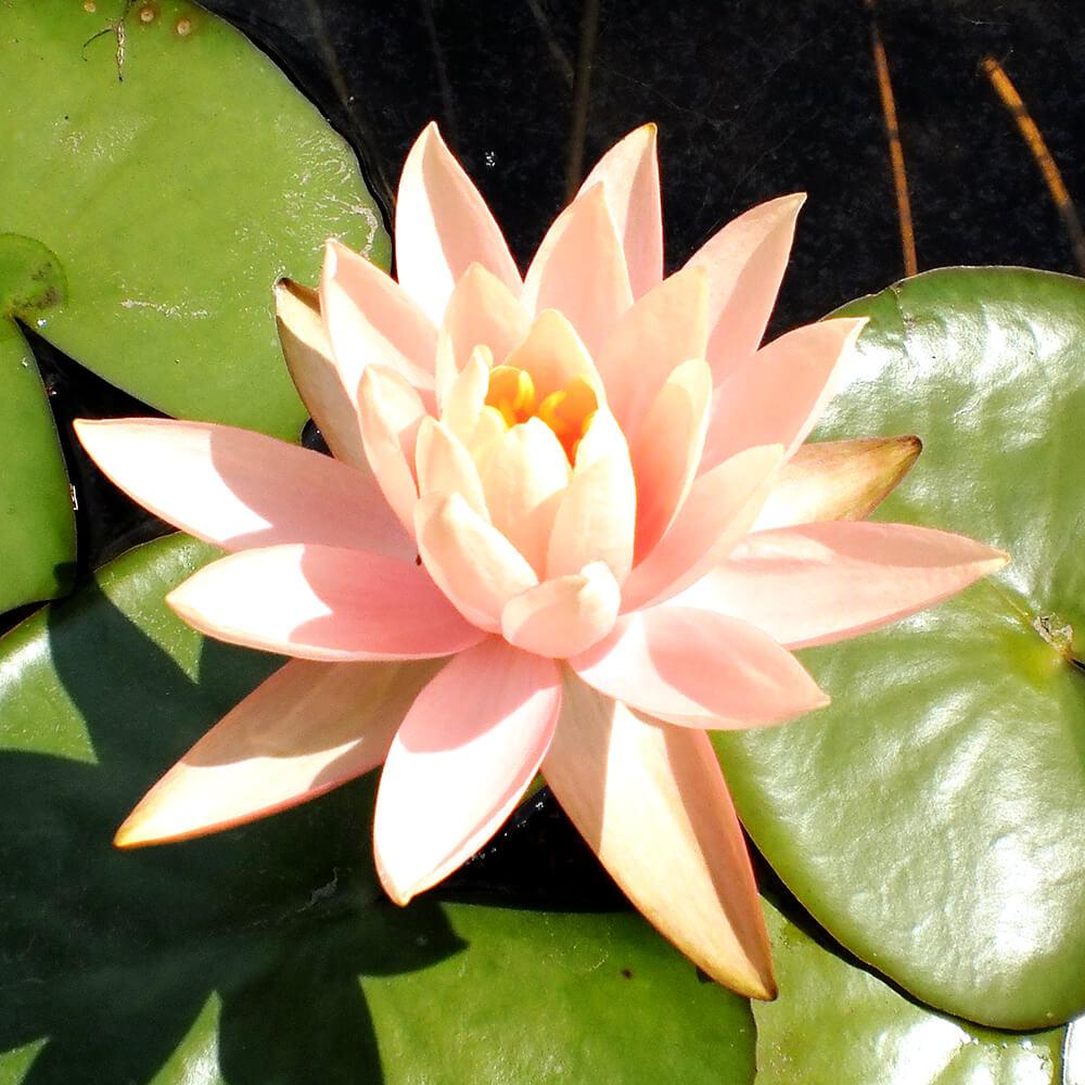 Colorado peach orange pond water lily the pond guy colorado hardy water lily izmirmasajfo