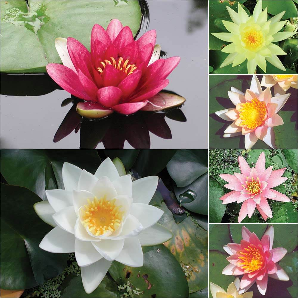 Water Lily: Premium Grower's Choice