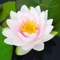 Hollandia Hardy Water Lily