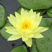 Joey Tomocik Hardy Water Lily