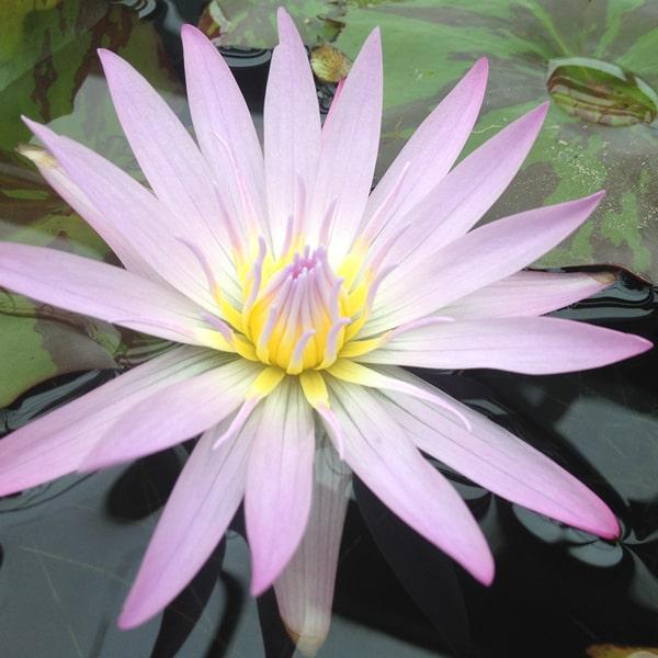 Madame Ganna Walska Tropical Water Lily