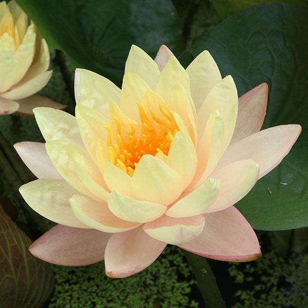 Mangkala Ubol Hardy Water Lily