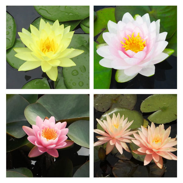 Medium to Large Growers Choice Water Lily