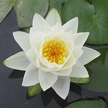 Odorata Hardy Water Lily