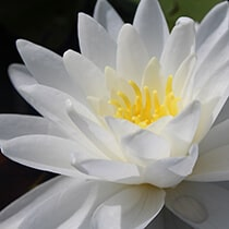 Perry's Double White Hardy Water Lily