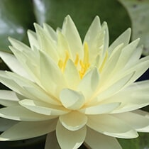 Perry's Double Yellow Hardy Water Lily
