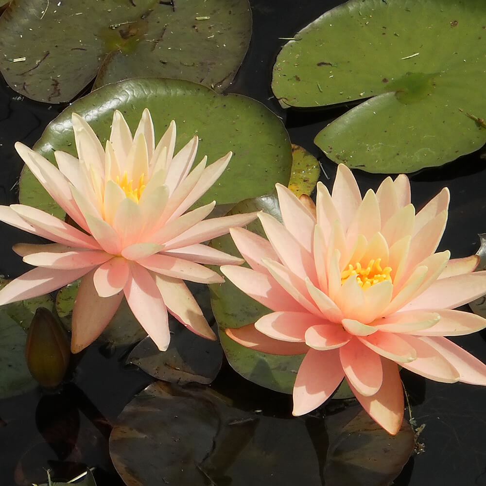 Sunny pink peach orange pond water lily the pond guy sunny pink hardy water lily izmirmasajfo