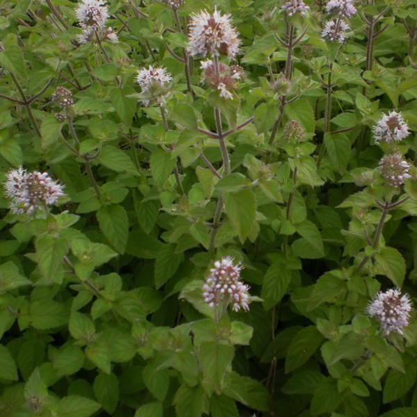 Aquatic Mint, Bundle of 2