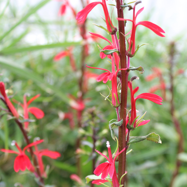 Cardinal Flower, Bundle of 2