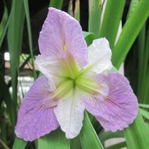 Colorific Bi-Color Louisiana Iris, Bundle of 2