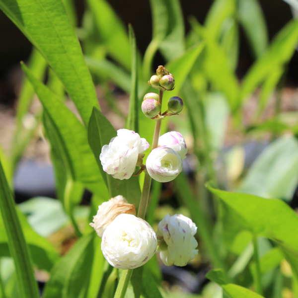Double Flowering Arrowhead, Bundle of 2