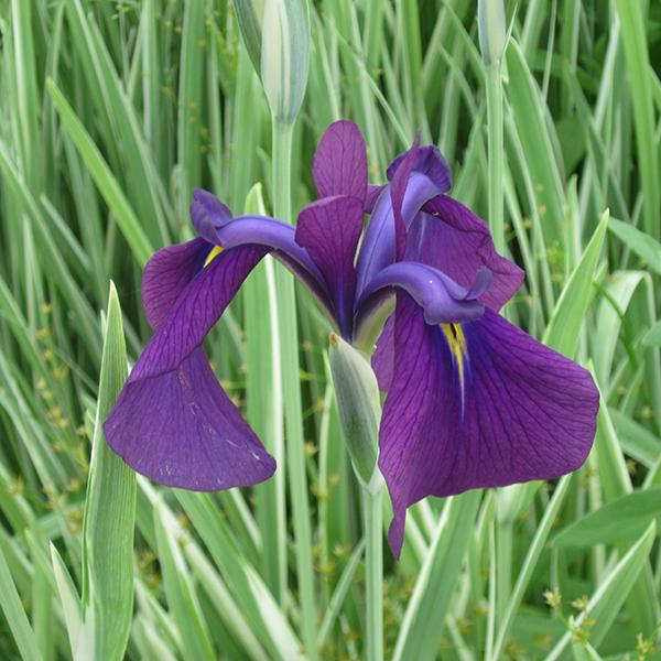 Japanese Variegated Iris