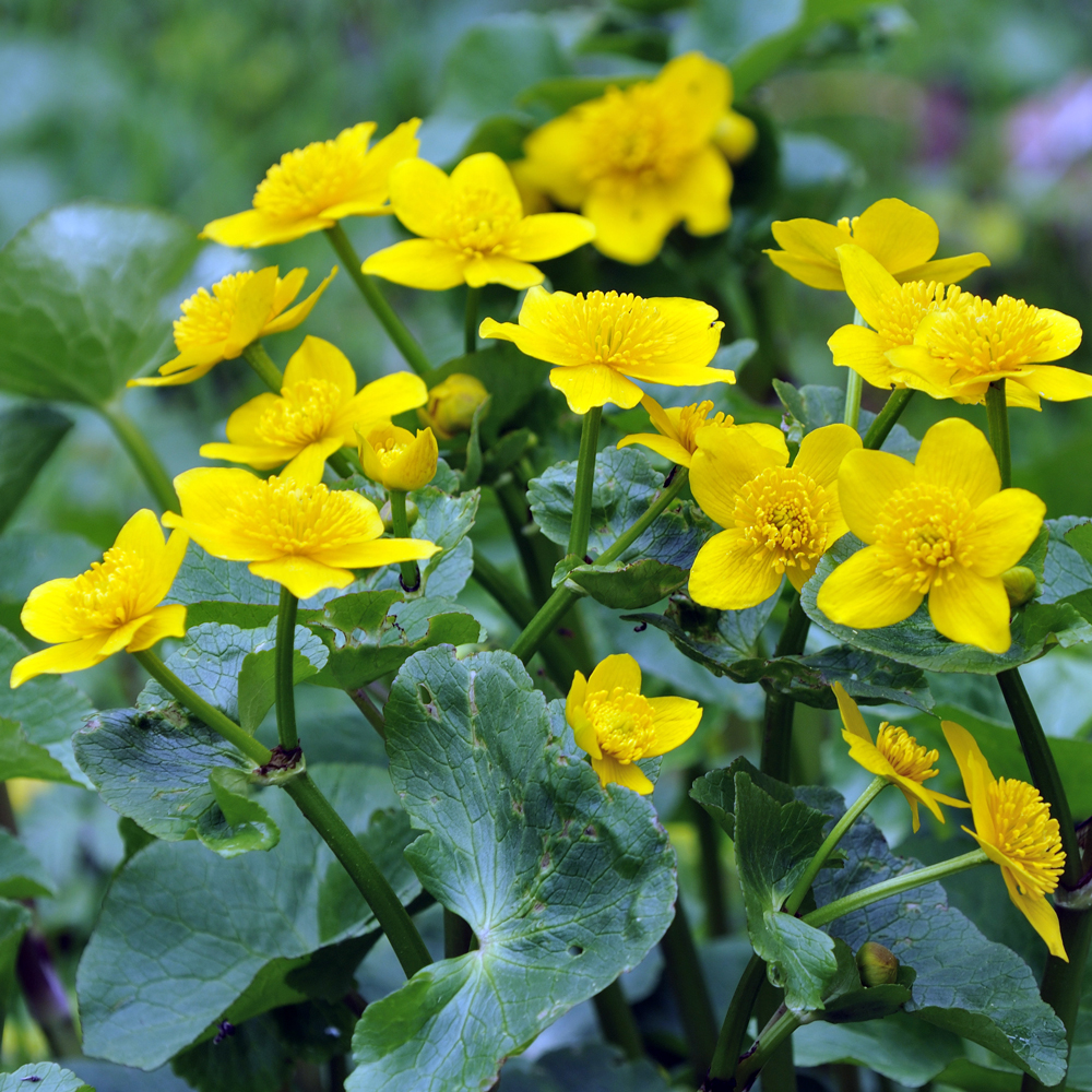 Bog plants for sale marsh marigold plant the pond guy marsh marigold bundle of 2 mightylinksfo